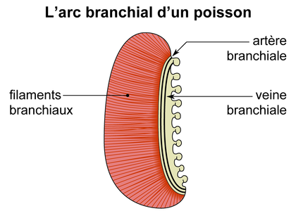 L'arc branchial d'un poisson - illustration 1