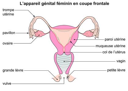 L'appareil génital féminin en coupe frontale - illustration 1