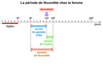 La période de fécondité chez la femme - illustration 1