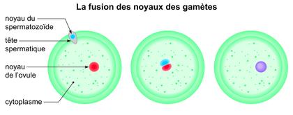 La fusion des noyaux des gamètes - illustration 1
