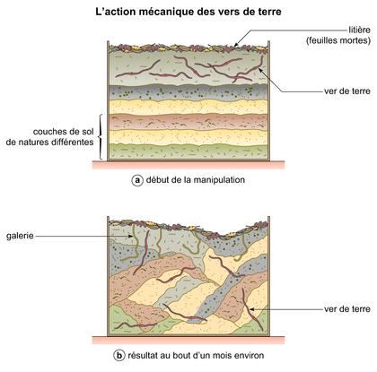 L'action mécanique des vers de terre - illustration 1