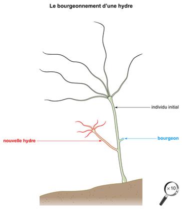 Le bourgeonnement d'une hydre - illustration 1