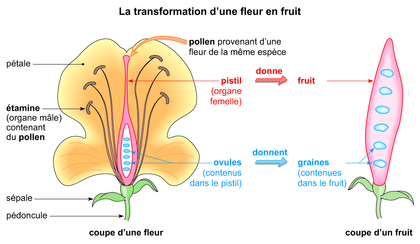 La transformation d'une fleur en fruit - illustration 1