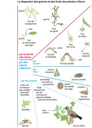 La dispersion des graines et des fruits des plantes à fleurs - illustration 1