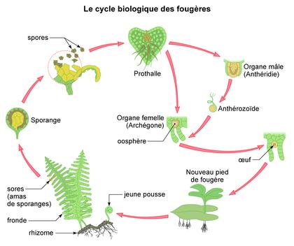 Le cycle biologique des fougères - illustration 1
