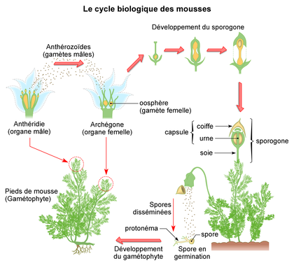 Le cycle biologique des mousses - illustration 1
