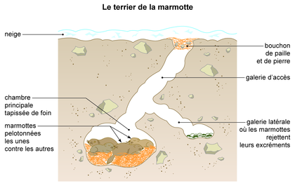 Le terrier de la marmotte - illustration 1