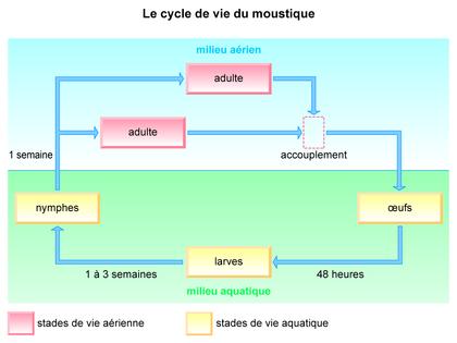 Le cycle de vie du moustique - illustration 1
