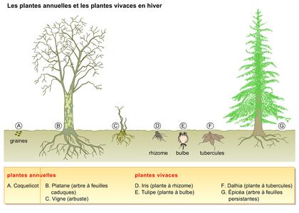 Les plantes annuelles et les plantes vivaces en hiver for Les plantes vivaces