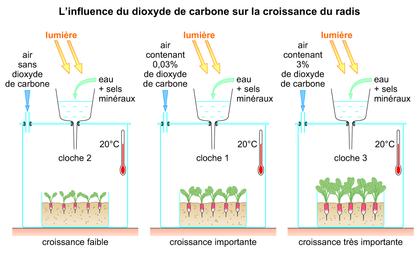 L'influence du dioxyde de carbone sur la croissance du radis - illustration 1