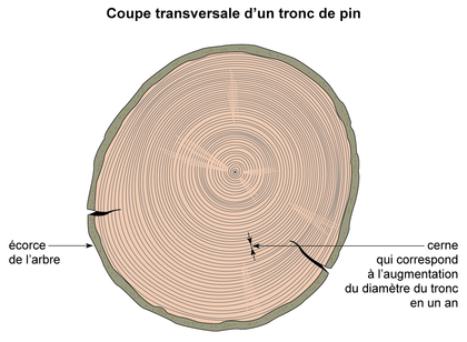 Coupe transversale d'un tronc de pin - illustration 1