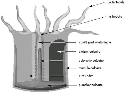 Structure générale d'un polype
