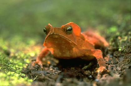 L'amphibien Anoure de la forêt tropicale : une espèce menacée d'extinction