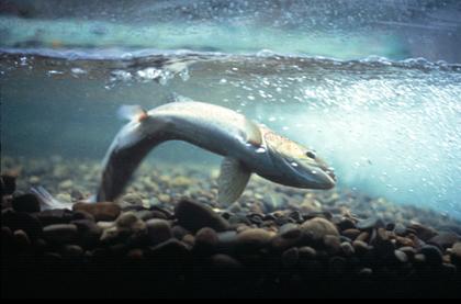 Saumon atlantique creusant une frayère
