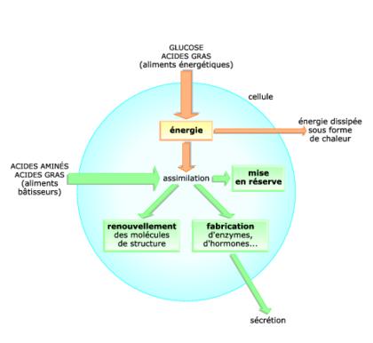Les aliments : source d'énergie et de matière