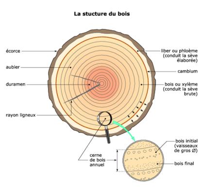 La structure du bois base documentaire en sciences - Coupe transversale d un tronc d arbre ...