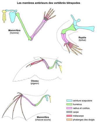 Les membres antérieurs des vertébrés tétrapodes - illustration 1