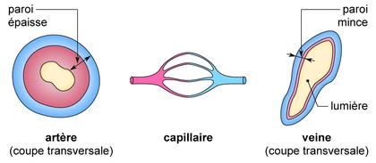 Coupes de vaisseaux - illustration 1