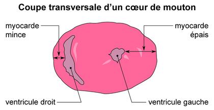 Coupe transversale d'un coeur de mouton - illustration 1
