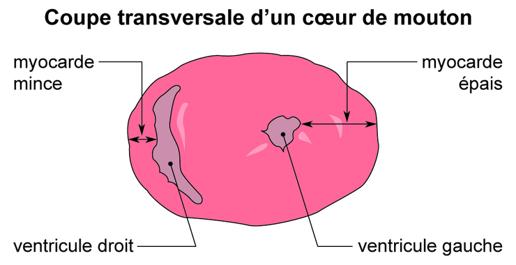 Image 5scs0203 coupe transversale d 39 un c ur de mouton base documentaire en sciences - Coupe longitudinale du coeur ...