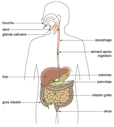 Le trajet des aliments dans l'appareil digestif de l'homme - illustration 1