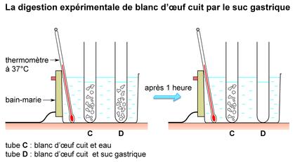 La digestion du blanc d'oeuf cuit par le suc gastrique - illustration 1