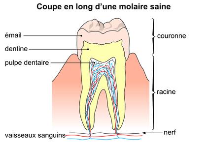 Coupe en long d'une molaire saine - illustration 1