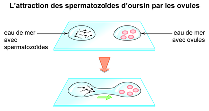 L'attraction des spermatozoïdes d'oursin par les ovules - illustration 1