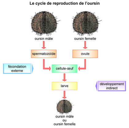 Le cycle de reproduction de l'oursin - illustration 1