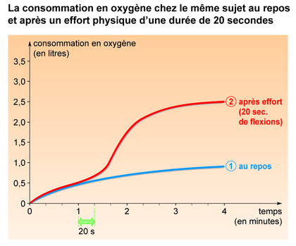 La consommation en oxygène au repos et après un effort physique - illustration 1