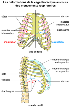 Les déformations de la cage thoracique lors de la respiration - illustration 1