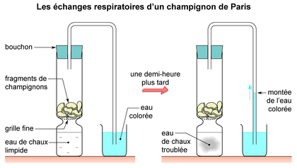 Les échanges respiratoires d'un champignon de Paris - illustration 1