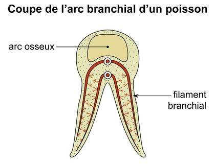 Coupe de l'arc branchial - illustration 1