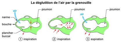 La déglutition de l'air par la grenouille - illustration 1