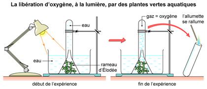 La libération d'oxygène par des plantes vertes aquatiques - illustration 1