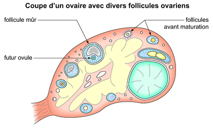 Coupe d'un ovaire avec divers follicules ovariens - illustration 1
