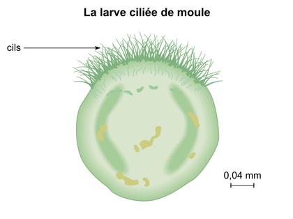 La larve ciliée de moule - illustration 1