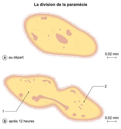 La division de la paramécie - illustration 1