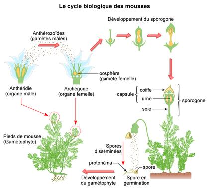 Le cycle biologique des mousses - illustration 1