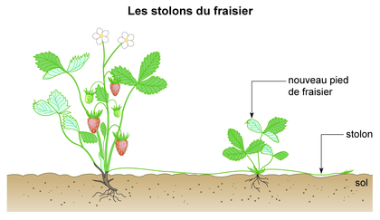 Les stolons du fraisier - illustration 1