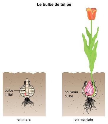 le bulbe de tulipe base documentaire en sciences ressources pour les enseignants. Black Bedroom Furniture Sets. Home Design Ideas