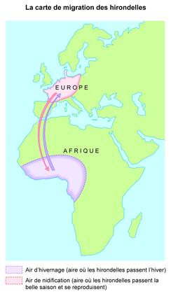 La carte de migration des hirondelles - illustration 1