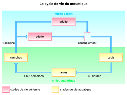 Le cycle de vie du moustique - illustration 1
