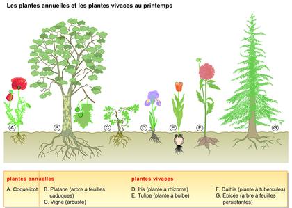 Les plantes annuelles et les plantes vivaces au printemps - illustration 1