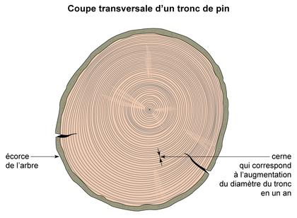 Coupe transversale d'un tronc de pin - illustration 1