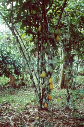 Le cacaoyer ou arbre à cabosses
