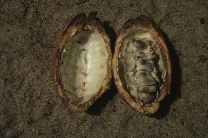Fèves de cacao dans une cabosse