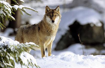 Le loup : carte d'identité