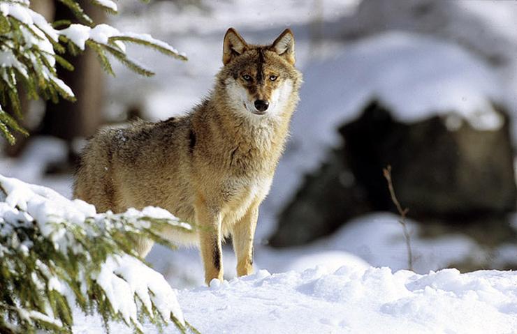 image a0412 00014i04 le loup carte d identit 233 base documentaire en sciences ressources