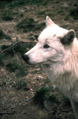 Le loup du Canada